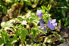 Liten blått blommar i en skog på en solig dag Fotografering för Bildbyråer