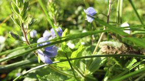 Liten blått blommar i gräset royaltyfri bild