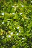 Liten blåttblomma i en gräsmatta Fotografering för Bildbyråer