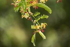 Liten blomma för röd blandningguling av tamarinefrukt på träd Fotografering för Bildbyråer