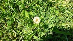 Liten blomma för vit växt av släktet Trifolium Royaltyfri Bild
