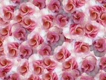 Liten blommapelargonrosa färg-vit växter för phloxes för bakgrundsblommor trädgårds- För design Arkivbilder