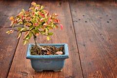 Liten bonsai på träbakgrund Fotografering för Bildbyråer