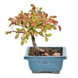 Liten bonsai som isoleras på vit bakgrund Arkivbild