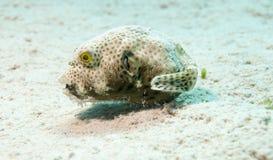 Liten boxfish Royaltyfri Foto