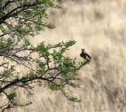 Liten brun fågel som vilar på filial av akaciaträdet i Sydafrika arkivbilder