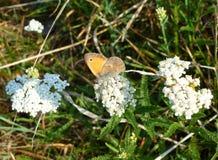 Liten brun fjäril på en blomma Arkivfoto