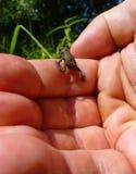Liten brun grodaklättring på en mänsklig hand Fotografering för Bildbyråer