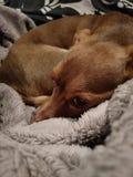 Liten brun hund på säng arkivbilder