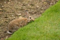 liten brun kanin Royaltyfri Bild