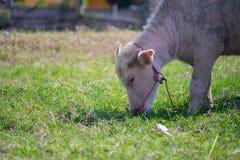 Liten buffel för albinokalv Royaltyfri Foto
