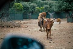 Liten buffel i zoo Italien för Fasano apuliasafari royaltyfri bild