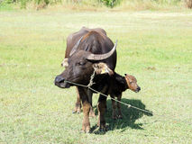 Liten buffel med hans moderanseende på grönt gräs Royaltyfri Fotografi