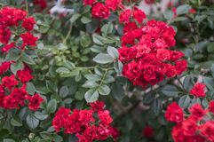 liten buske av den röda rosen Arkivfoto