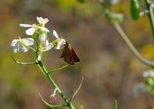 Liten butterfly& x28; Bruna Skipper& x29; på den vita blomman Royaltyfria Bilder
