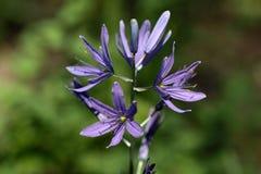 Liten Camas blomma Fotografering för Bildbyråer