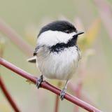 liten capped chickadee för fågel black Arkivfoton