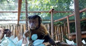 Liten capuchinapa i zoo Fotografering för Bildbyråer