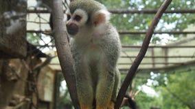 Liten capuchinapa i zoo Arkivbilder