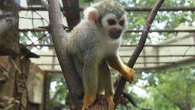 Liten capuchinapa i zoo Arkivfoto