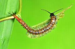 liten centipede Arkivbilder