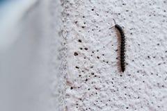 liten centipede Royaltyfria Bilder