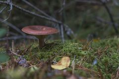 Liten champinjon i skogen royaltyfri fotografi