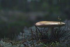 Liten champinjon i skogen royaltyfri bild