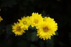 liten chrysanthemum royaltyfri foto