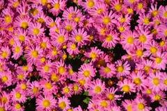liten chrysanthemum arkivbild