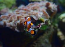 Liten clownfisk som är roterande bort till baksidan med olika koraller i bakgrunden Arkivbild