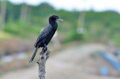 Liten Cormorant royaltyfria foton