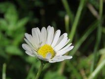Liten daisie i ett fält av gräsplan arkivfoto