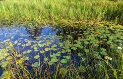 Liten damm med näckrors och gräs- Royaltyfria Foton