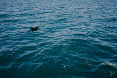 Liten delfin i vattnet Royaltyfri Foto