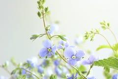 Liten delikat blått blommar veronica, selektiv fokus royaltyfri foto