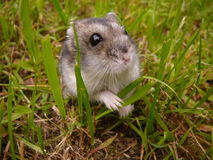 Liten djungarian hamster royaltyfria bilder