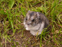 Liten djungarian hamster arkivbild