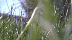 Liten djur varelsespring till och med ett gräs som kilar till och med slingan - POV-punkt av sikten arkivfilmer