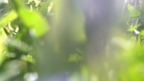 Liten djur varelsespring till och med ett gräs som kilar till och med slingan - POV-punkt av sikten lager videofilmer