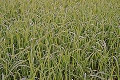 Liten droppe av vatten på sidor för ris` s i fältet, daggdroppar Arkivfoton