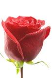 liten droppe isolerade rött rose vatten Arkivbild