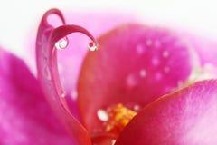 Liten droppe på orchidblomma Arkivfoto