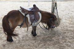 Liten dvärg- häst i ranchlantgårdbruk för älskvärda och gulliga djur Arkivfoto