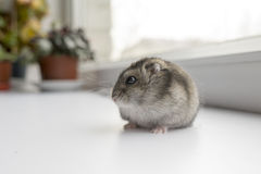 Liten dvärg- hamster nära fönstret royaltyfri foto