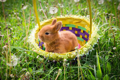 Liten easter kanin i korgen på grön äng Fotografering för Bildbyråer