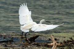 Liten egret Royaltyfri Foto