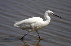 Liten Egret - Egrettagarzetta Arkivfoto