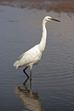 Liten Egret - Egrettagarzetta Royaltyfri Foto