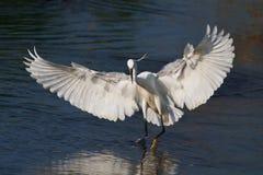 Liten egret (Egrettagarzettaen) Royaltyfri Fotografi